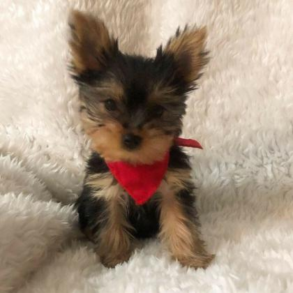 Yorkie puppy I am putting up for adoption